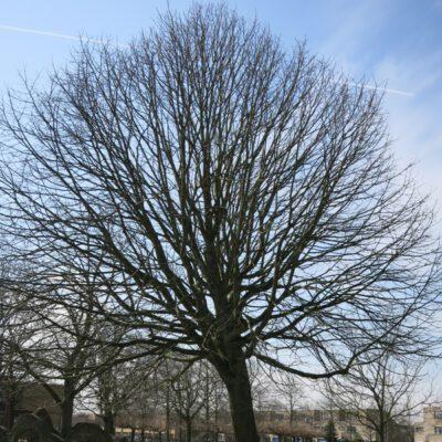 Ypestein Beatrixboom (omgewaaid)